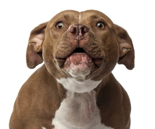 dog barking with ears back