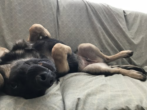 German Shepherd puppy laying on couch