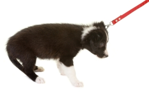 Puppy being pulled on a leash