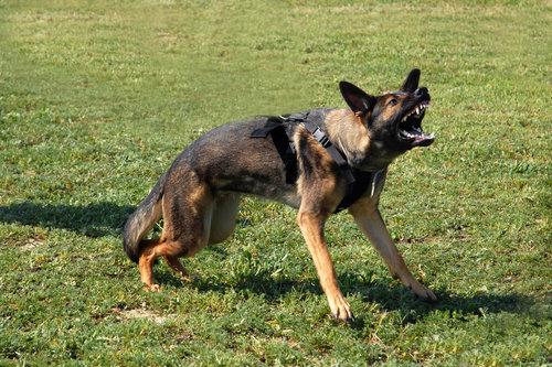 reactive german shepherd dog