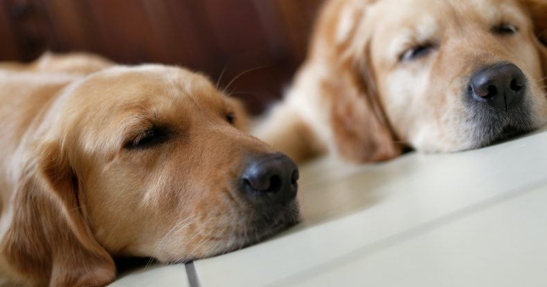 Two labrador retriever dogs laying on the floor sleeping.